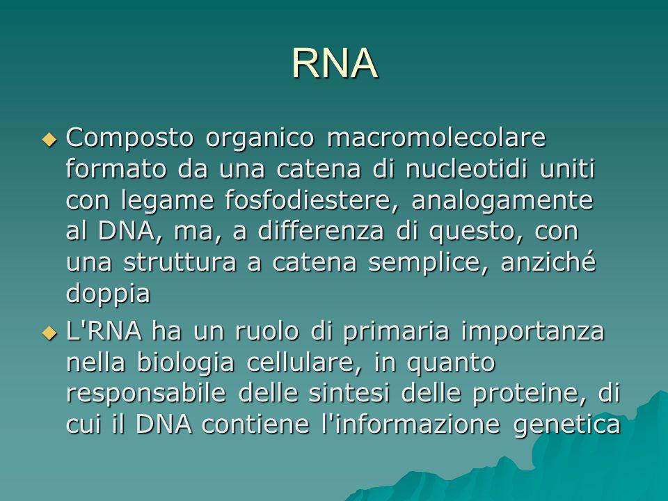 RNA Composto organico macromolecolare formato da una catena di nucleotidi uniti con legame fosfodiestere, analogamente al DNA, ma, a differenza di que