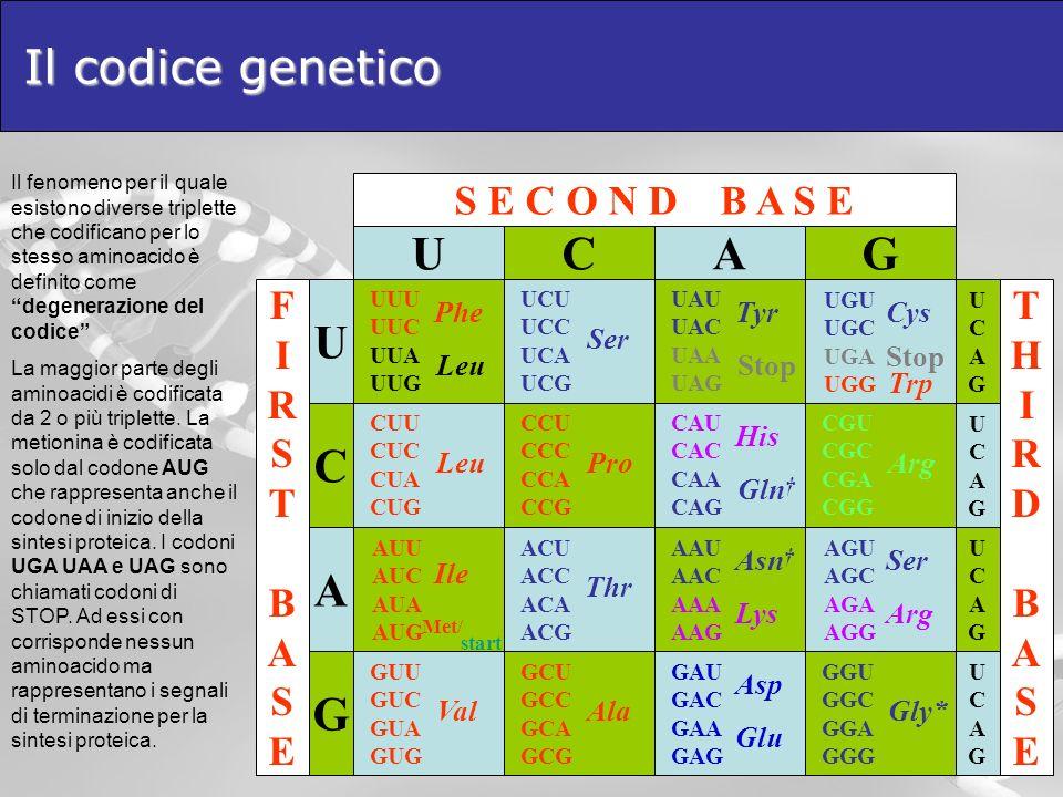 Il codice genetico S E C O N D B A S E A GGU GGC GGA GGG Gly* AGU AGC AGA AGG Arg G CGU CGC CGA CGG Arg G UGU UGC UGA UGG C GAU GAC GAA GAG AAU AAC AA