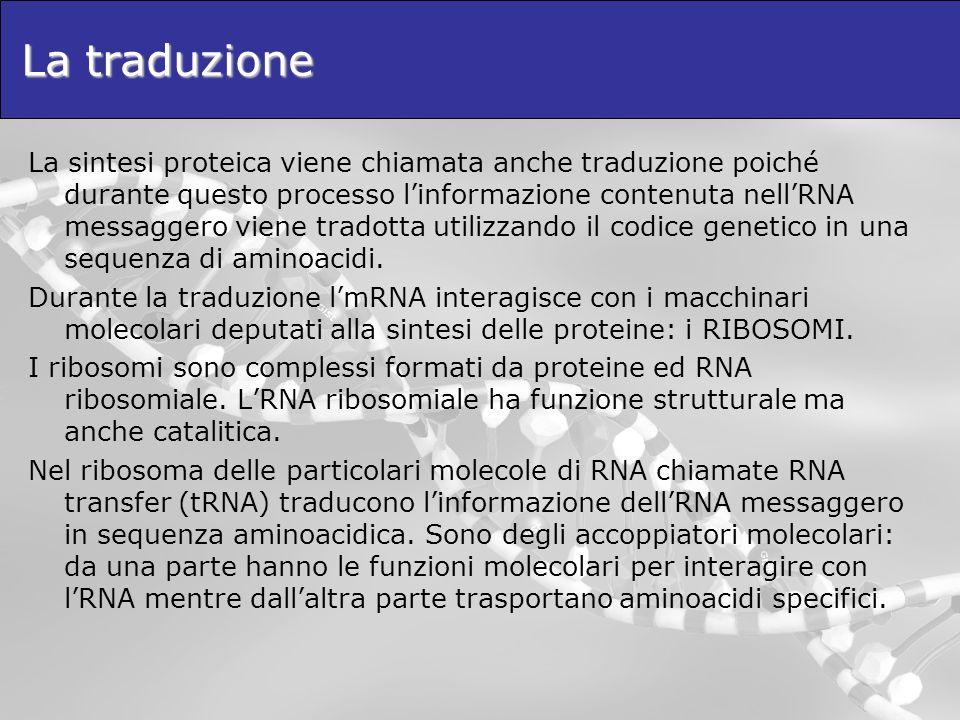 La traduzione La sintesi proteica viene chiamata anche traduzione poiché durante questo processo linformazione contenuta nellRNA messaggero viene trad