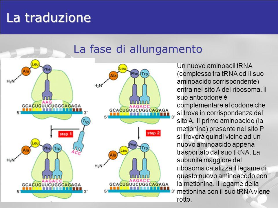 La traduzione La fase di allungamento Un nuovo aminoacil tRNA (complesso tra tRNA ed il suo aminoacido corrispondente) entra nel sito A del ribosoma.