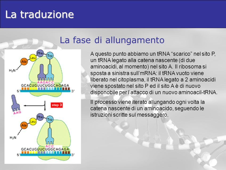 La traduzione La fase di allungamento A questo punto abbiamo un tRNA scarico nel sito P, un tRNA legato alla catena nascente (di due aminoacidi, al mo