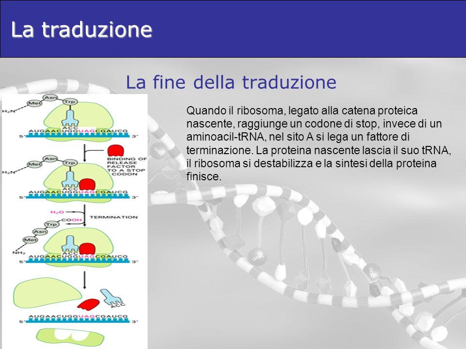 La traduzione La fine della traduzione Quando il ribosoma, legato alla catena proteica nascente, raggiunge un codone di stop, invece di un aminoacil-t