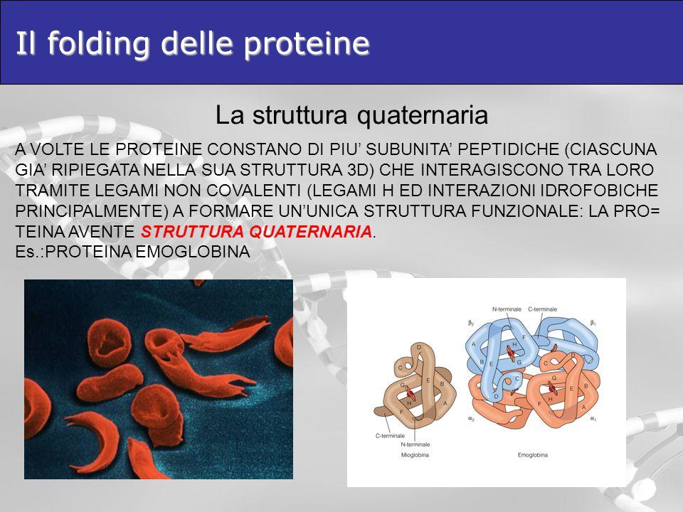 Il folding delle proteine La struttura quaternaria A VOLTE LE PROTEINE CONSTANO DI PIU SUBUNITA PEPTIDICHE (CIASCUNA GIA RIPIEGATA NELLA SUA STRUTTURA