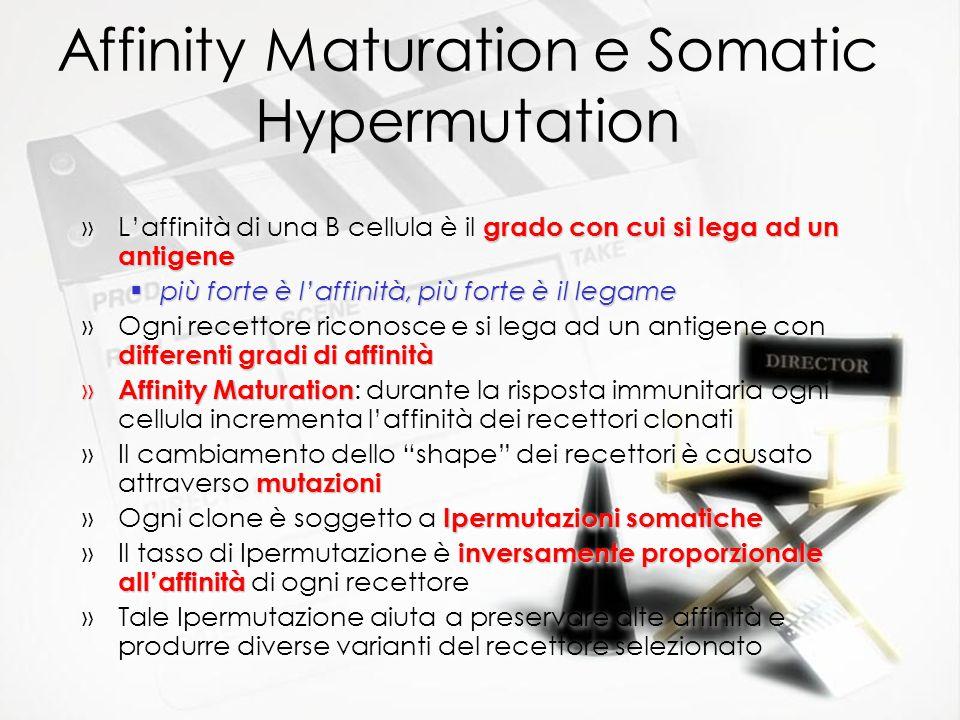 Affinity Maturation e Somatic Hypermutation grado con cui si lega ad un antigene »Laffinità di una B cellula è il grado con cui si lega ad un antigene