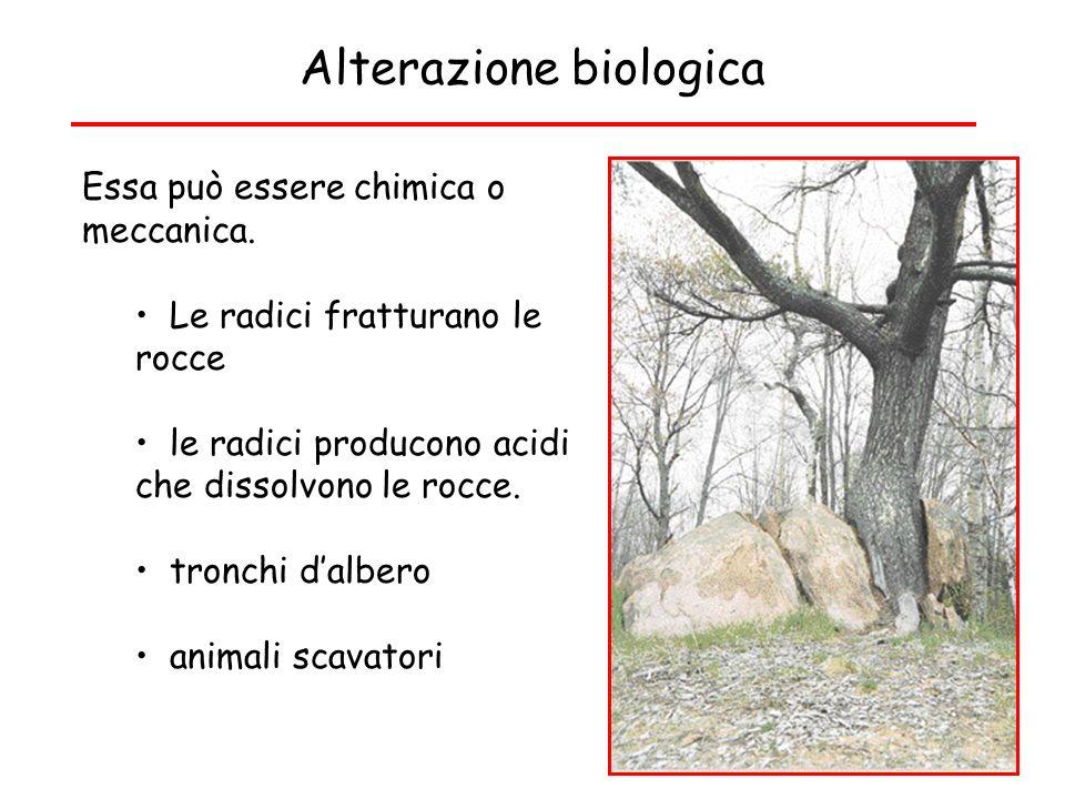 Alterazione biologica Essa può essere chimica o meccanica. Le radici fratturano le rocce le radici producono acidi che dissolvono le rocce. tronchi da