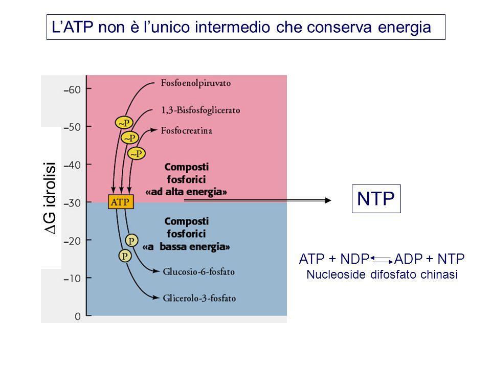 NTP ATP + NDP ADP + NTP Nucleoside difosfato chinasi LATP non è lunico intermedio che conserva energia G idrolisi