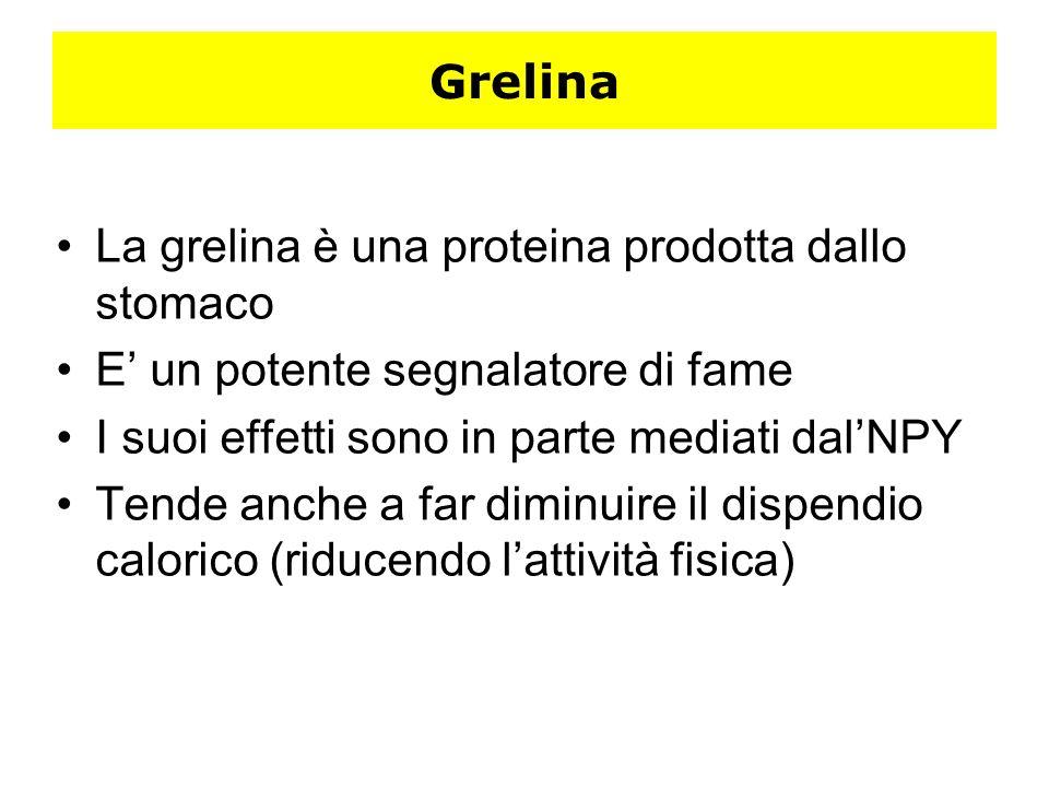 Grelina La grelina è una proteina prodotta dallo stomaco E un potente segnalatore di fame I suoi effetti sono in parte mediati dalNPY Tende anche a fa