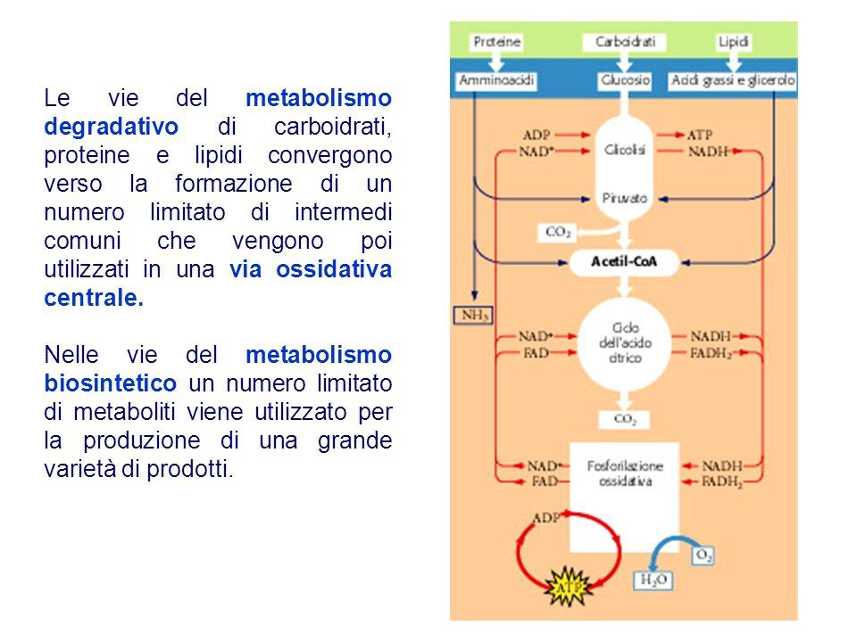 Le vie del metabolismo degradativo di carboidrati, proteine e lipidi convergono verso la formazione di un numero limitato di intermedi comuni che veng