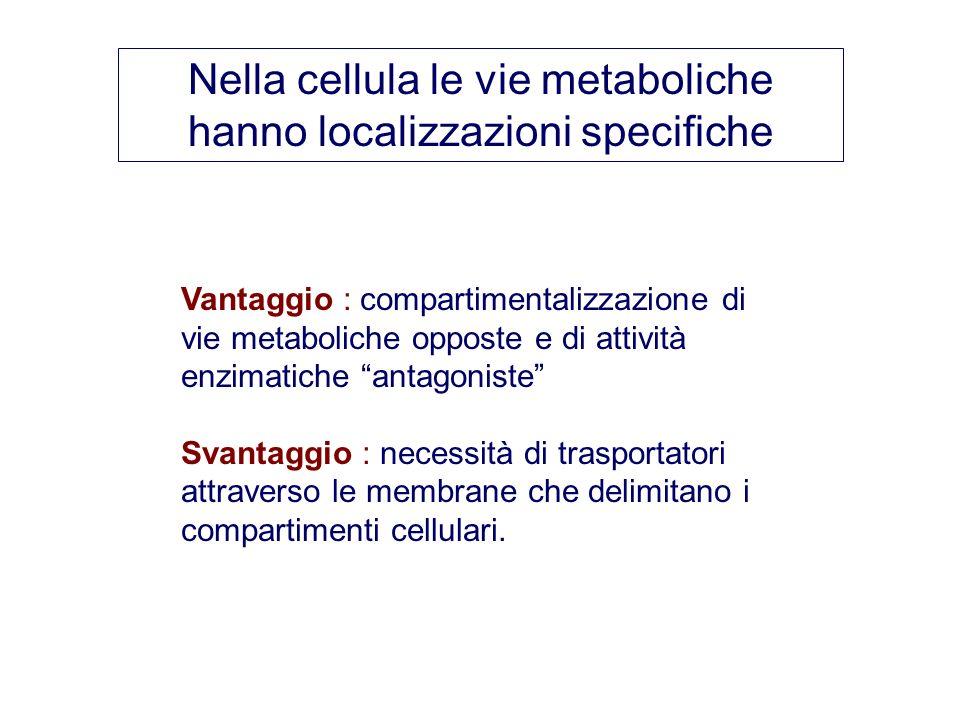 Nella cellula le vie metaboliche hanno localizzazioni specifiche Vantaggio : compartimentalizzazione di vie metaboliche opposte e di attività enzimati