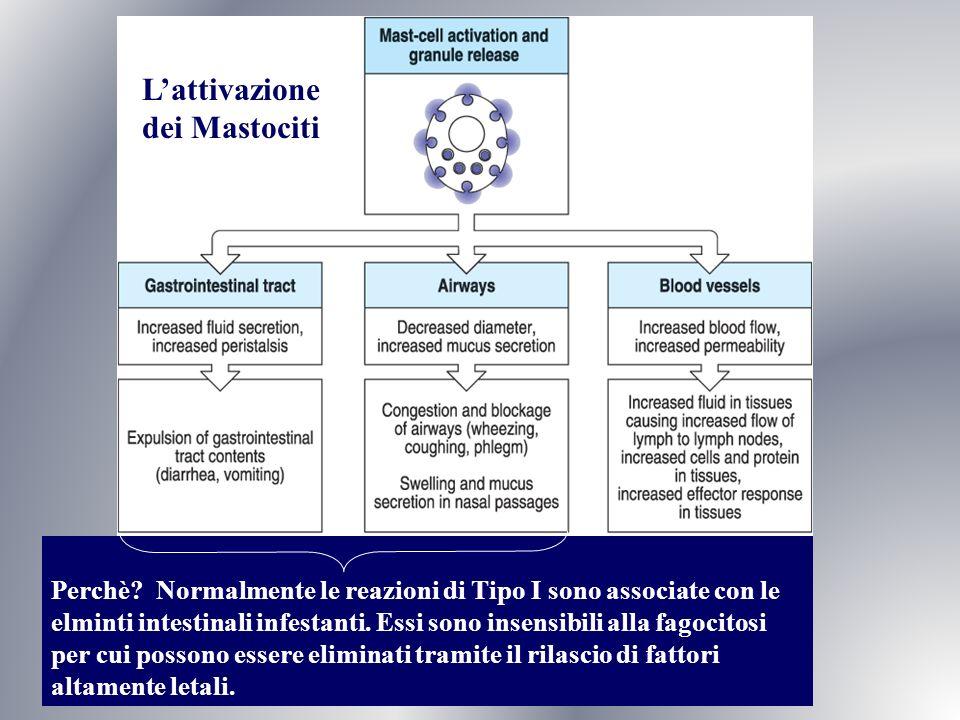 Lattivazione dei Mastociti Fig. 12.9 Perchè? Normalmente le reazioni di Tipo I sono associate con le elminti intestinali infestanti. Essi sono insensi