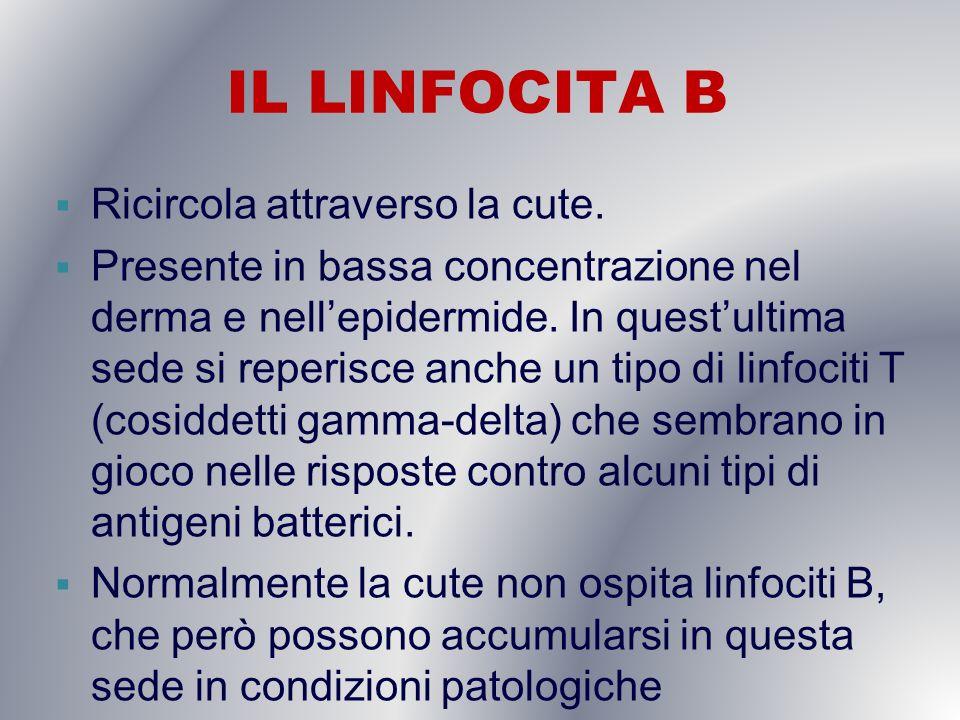 IL LINFOCITA B Ricircola attraverso la cute. Presente in bassa concentrazione nel derma e nellepidermide. In questultima sede si reperisce anche un ti