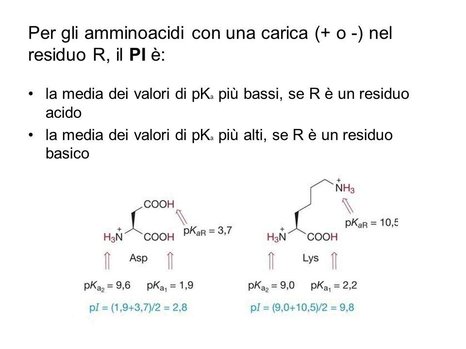 Per gli amminoacidi con una carica (+ o -) nel residuo R, il PI è: la media dei valori di pK a più bassi, se R è un residuo acido la media dei valori
