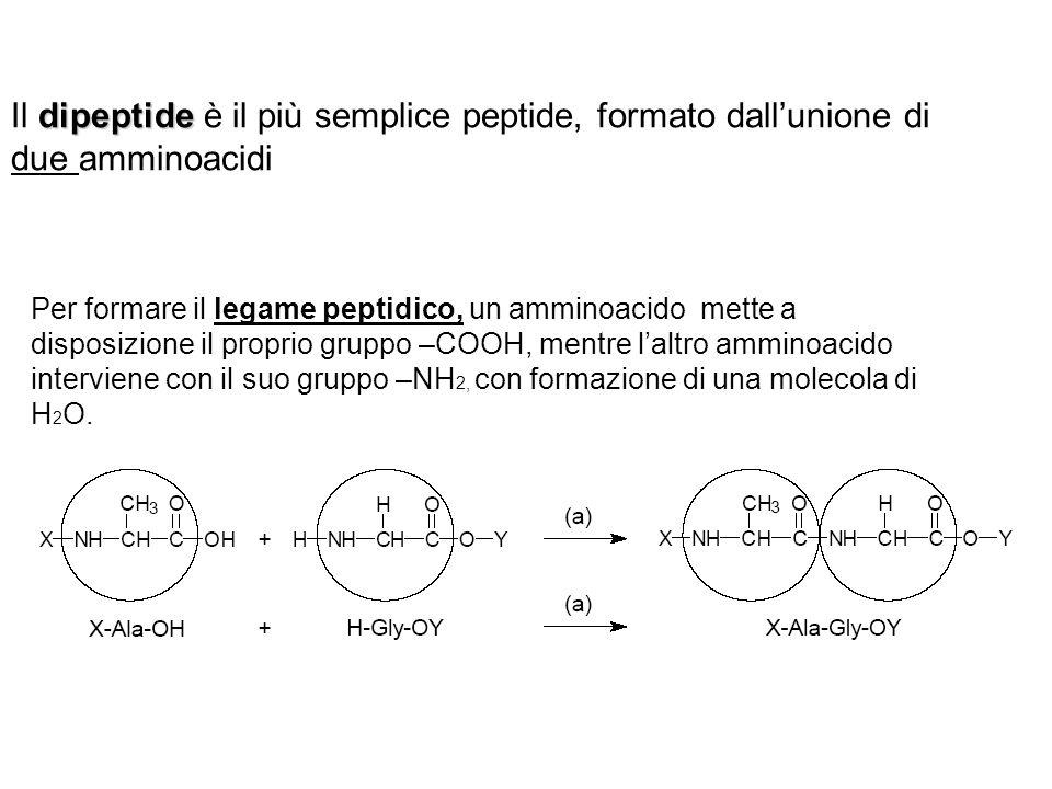 Per formare il legame peptidico, un amminoacido mette a disposizione il proprio gruppo –COOH, mentre laltro amminoacido interviene con il suo gruppo –