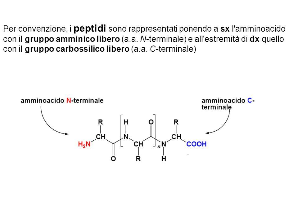 Per convenzione, i peptidi sono rappresentati ponendo a sx l'amminoacido con il gruppo amminico libero (a.a. N-terminale) e all'estremità di dx quello