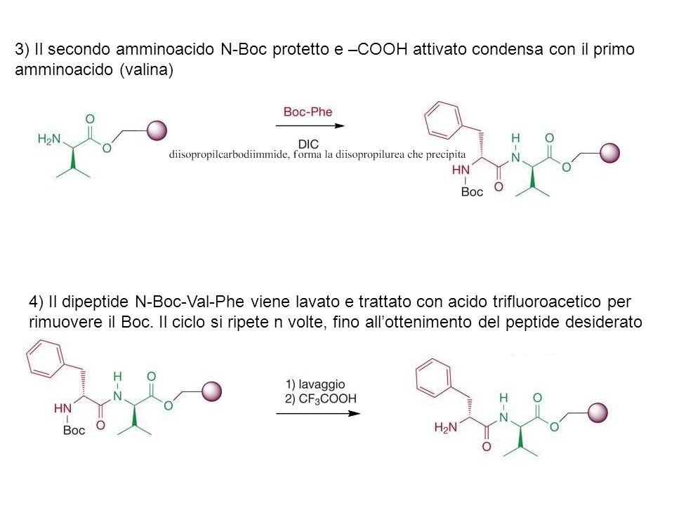 3) Il secondo amminoacido N-Boc protetto e –COOH attivato condensa con il primo amminoacido (valina) 4) Il dipeptide N-Boc-Val-Phe viene lavato e trat