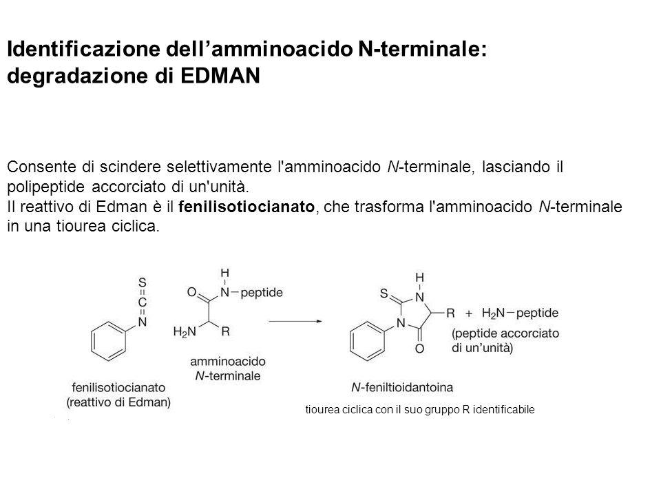 Identificazione dellamminoacido N-terminale: degradazione di EDMAN Consente di scindere selettivamente l'amminoacido N-terminale, lasciando il polipep
