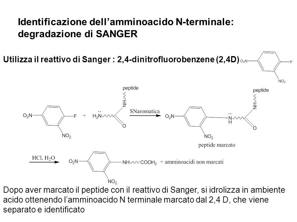 Identificazione dellamminoacido N-terminale: degradazione di SANGER Utilizza il reattivo di Sanger : 2,4-dinitrofluorobenzene (2,4D) Dopo aver marcato