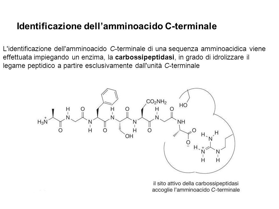 Identificazione dellamminoacido C-terminale L'identificazione dell'amminoacido C-terminale di una sequenza amminoacidica viene effettuata impiegando u