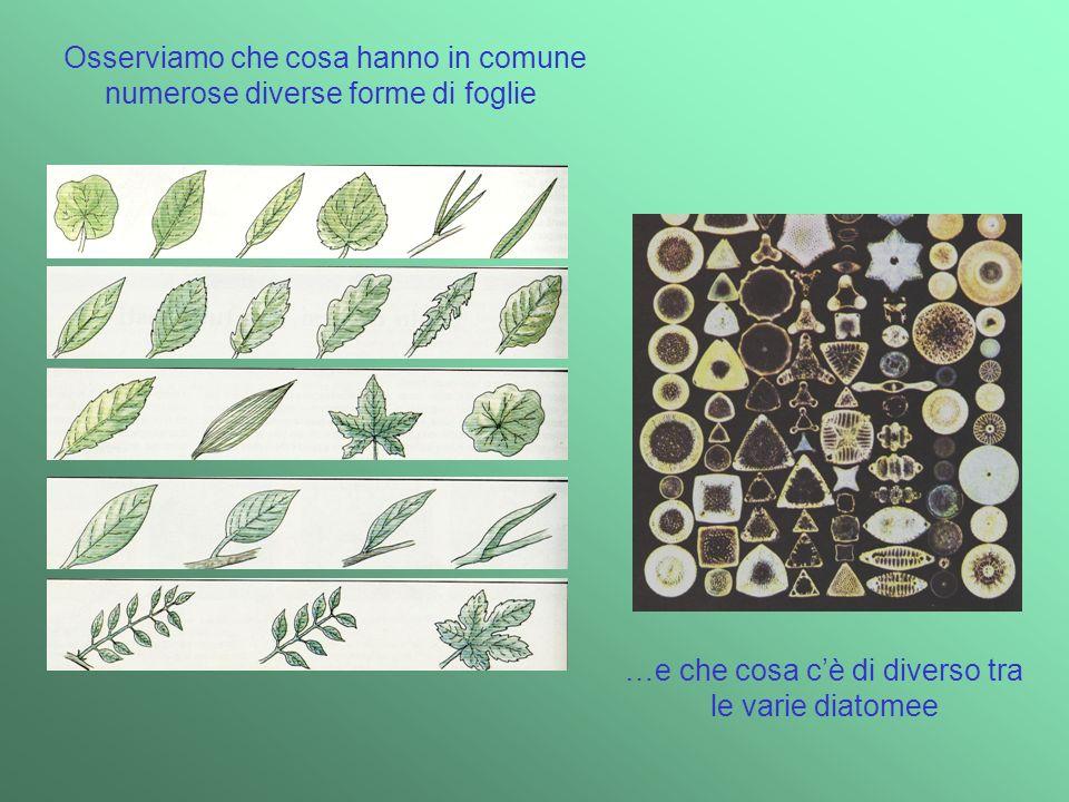 Osserviamo che cosa hanno in comune numerose diverse forme di foglie …e che cosa cè di diverso tra le varie diatomee