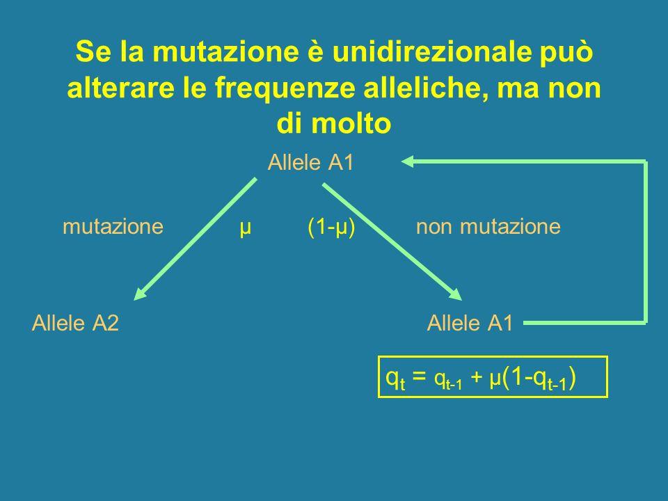 Se la mutazione è unidirezionale può alterare le frequenze alleliche, ma non di molto Allele A1 mutazione μ (1-μ) non mutazione Allele A2 Allele A1 q