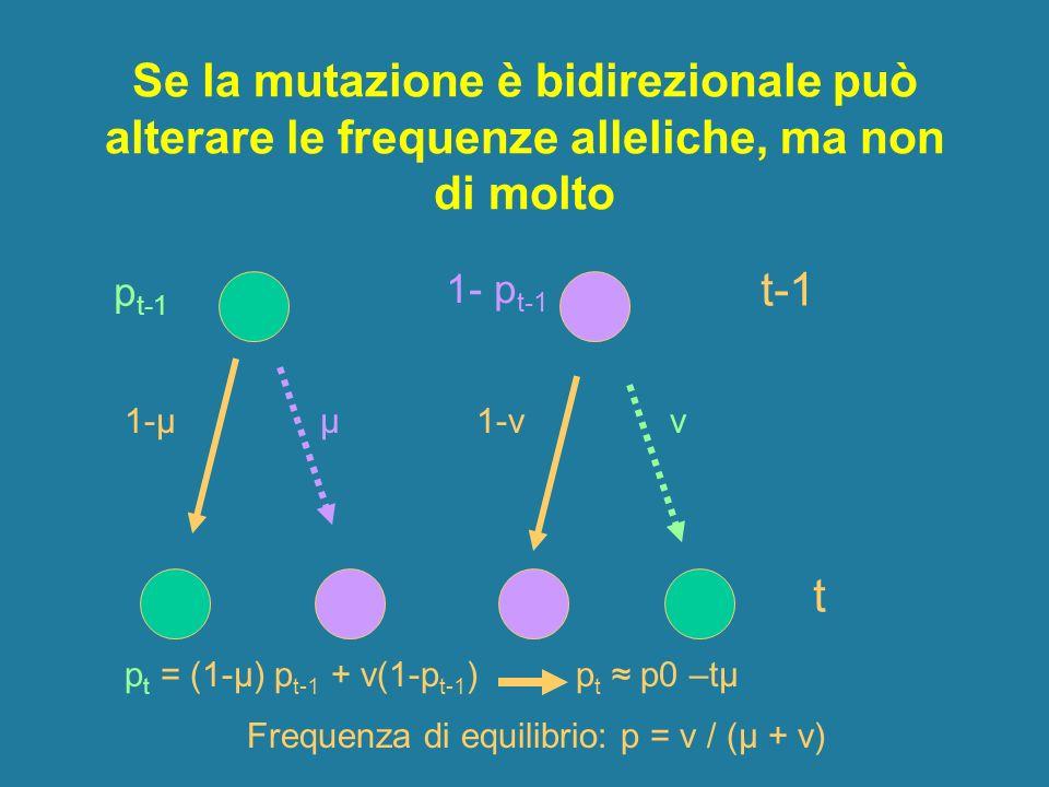 Se la mutazione è bidirezionale può alterare le frequenze alleliche, ma non di molto 1-μ μ 1-ν ν t-1 t p t = (1-μ) p t-1 + ν(1-p t-1 ) p t p0 –tμ p t-