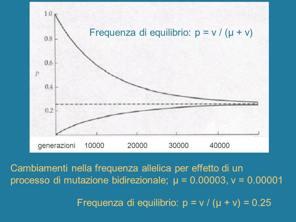 Cambiamenti nella frequenza allelica per effetto di un processo di mutazione bidirezionale; μ = 0.00003, ν = 0.00001 generazioni 10000 20000 30000 400