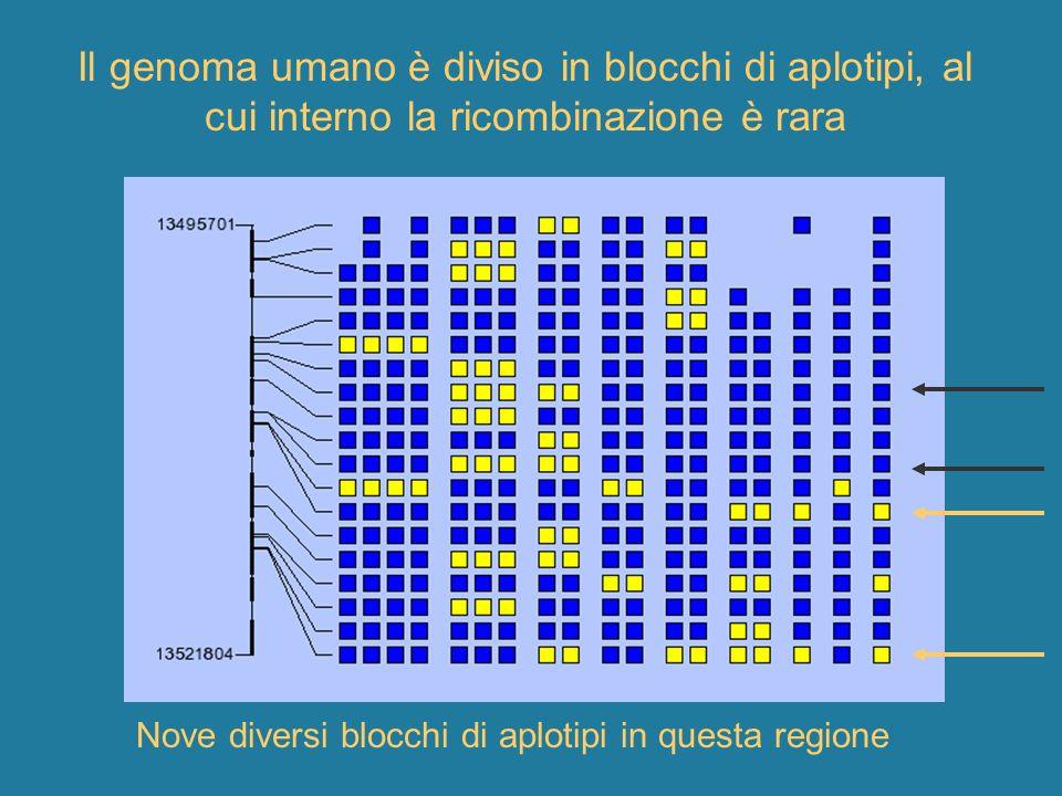 Il genoma umano è diviso in blocchi di aplotipi, al cui interno la ricombinazione è rara Nove diversi blocchi di aplotipi in questa regione