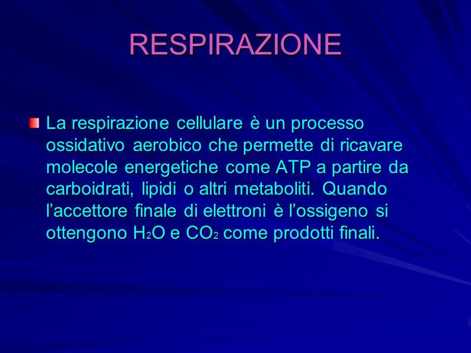 RESPIRAZIONE La respirazione cellulare è un processo ossidativo aerobico che permette di ricavare molecole energetiche come ATP a partire da carboidra