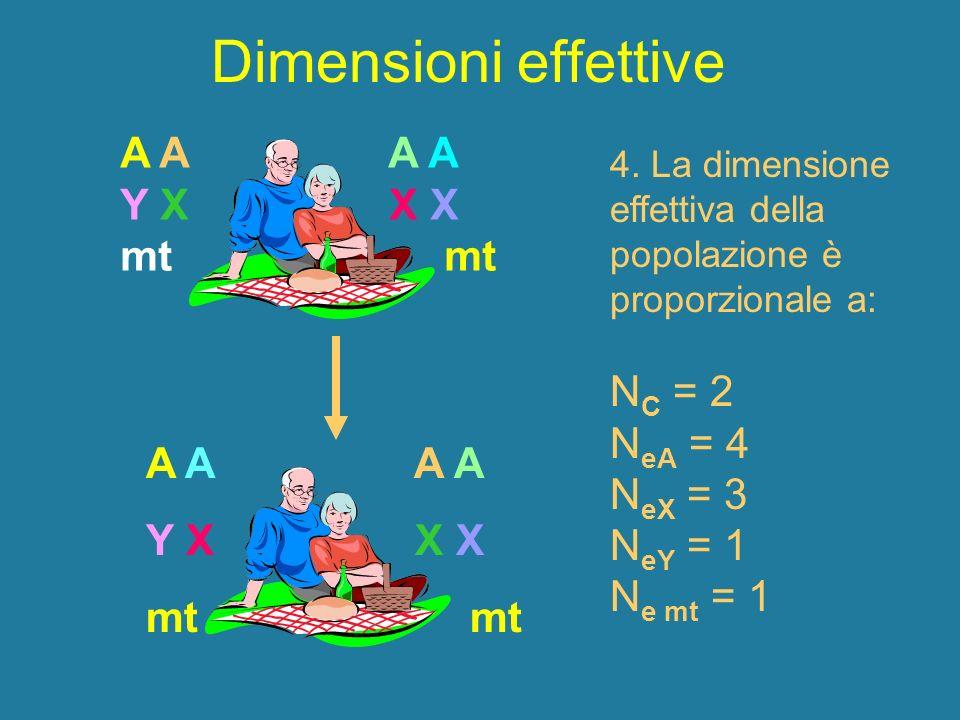 Dimensioni effettive A A Y X X X mt A A Y X X X mt 4. La dimensione effettiva della popolazione è proporzionale a: N C = 2 N eA = 4 N eX = 3 N eY = 1