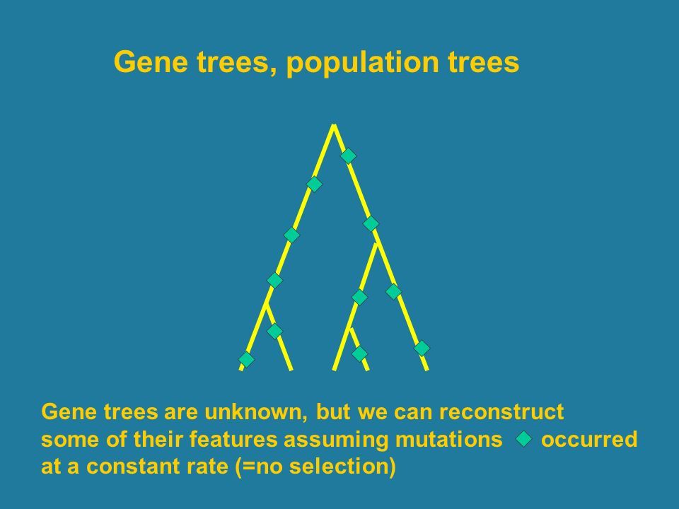Gene trees, population trees Gene trees are unknown, but we can reconstruct some of their features assuming mutations occurred at a constant rate (=no selection)