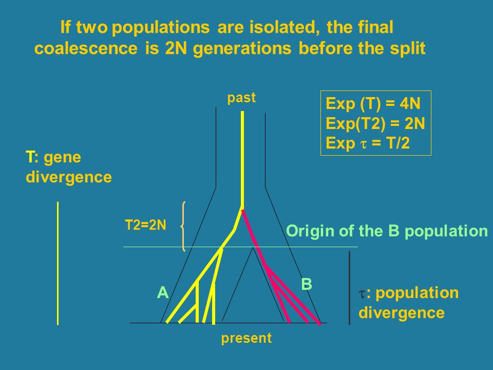 present past If two populations are isolated, the final coalescence is 2N generations before the split Origin of the B population A B T2=2N T: gene divergence : population divergence Exp (T) = 4N Exp(T2) = 2N Exp = T/2