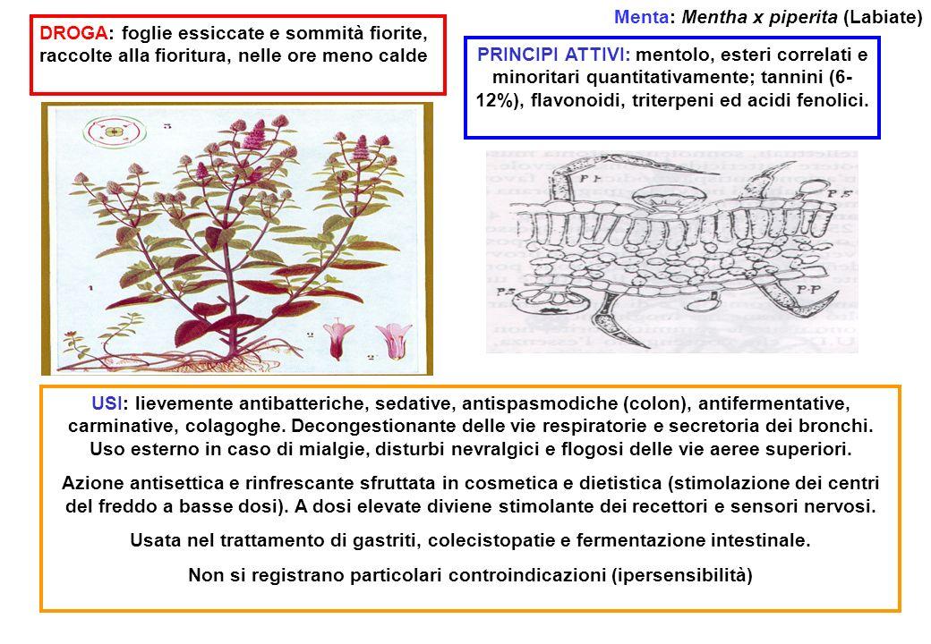Menta: Mentha x piperita (Labiate) DROGA: foglie essiccate e sommità fiorite, raccolte alla fioritura, nelle ore meno calde PRINCIPI ATTIVI: mentolo,