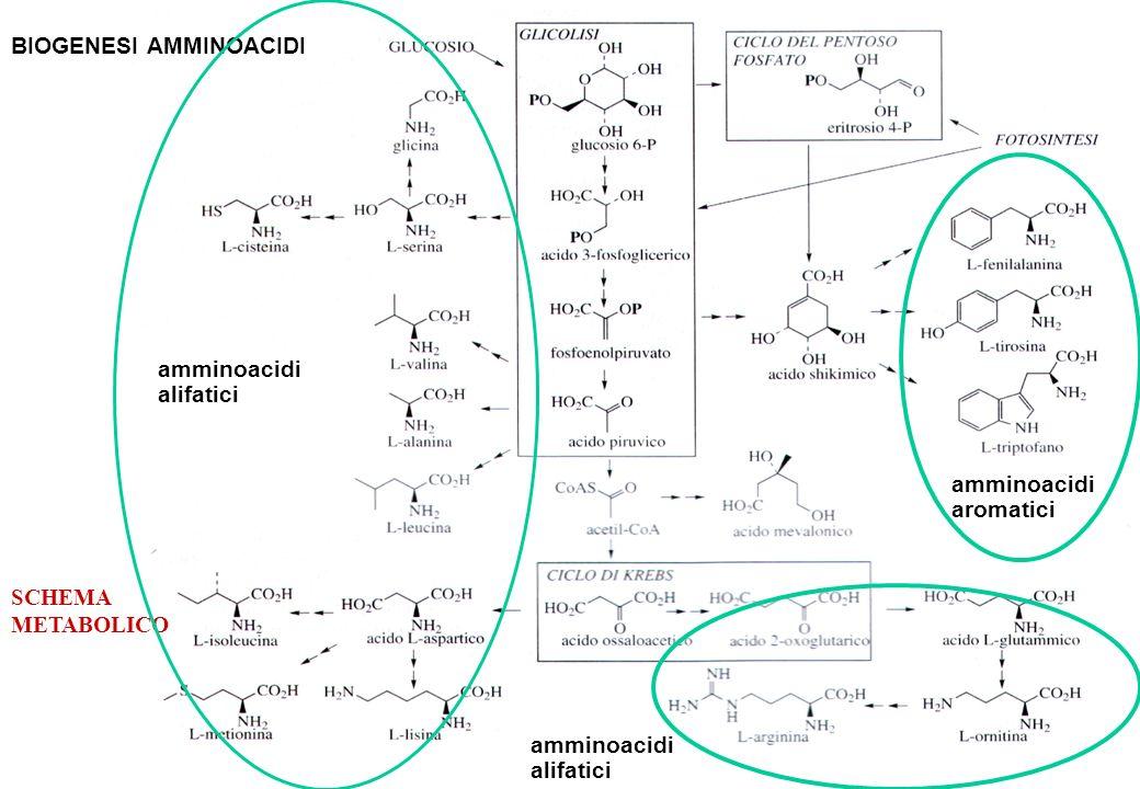 SCHEMA METABOLICO a amminoacidi aromatici BIOGENESI AMMINOACIDI amminoacidi alifatici amminoacidi alifatici