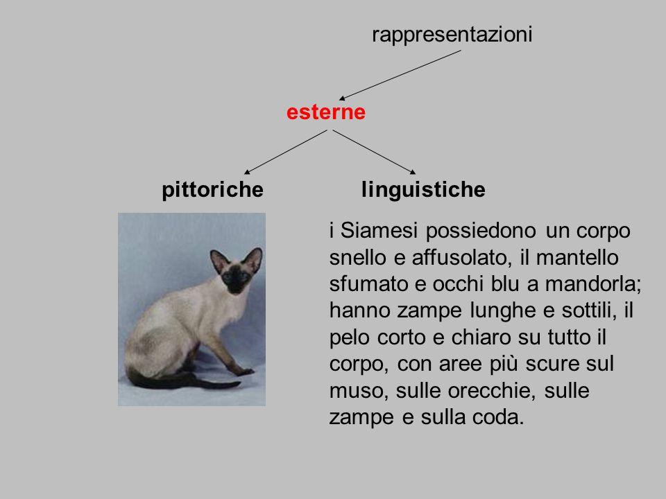 rappresentazioni esterne pittorichelinguistiche i Siamesi possiedono un corpo snello e affusolato, il mantello sfumato e occhi blu a mandorla; hanno z