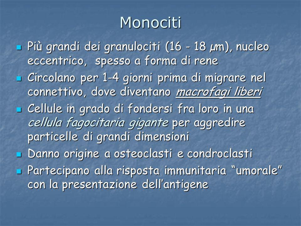 Monociti Più grandi dei granulociti (16 - 18 µm), nucleo eccentrico, spesso a forma di rene Più grandi dei granulociti (16 - 18 µm), nucleo eccentrico