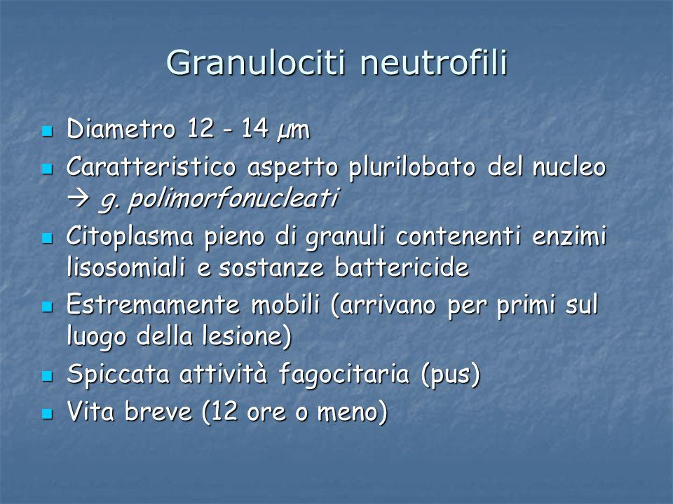 Granulociti neutrofili Diametro 12 - 14 µm Diametro 12 - 14 µm Caratteristico aspetto plurilobato del nucleo g. polimorfonucleati Caratteristico aspet