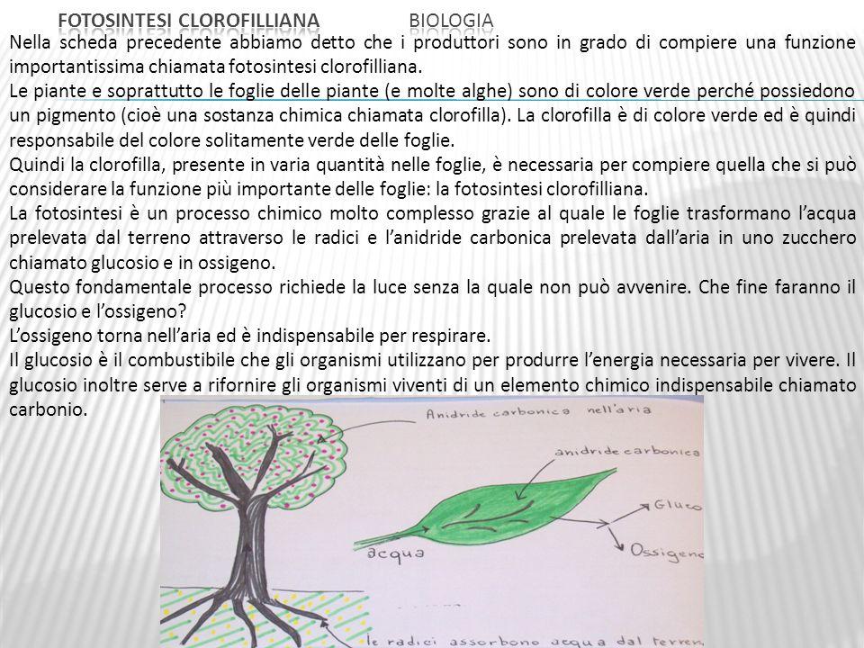 Nella scheda precedente abbiamo detto che i produttori sono in grado di compiere una funzione importantissima chiamata fotosintesi clorofilliana.