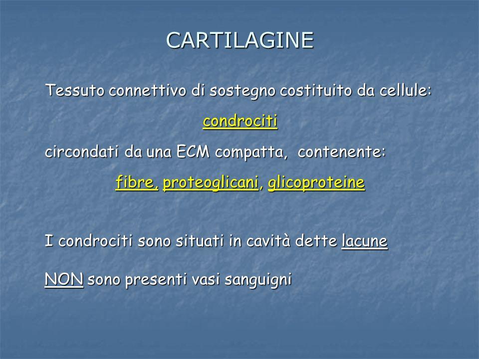 CARTILAGINE Tessuto connettivo di sostegno costituito da cellule: condrociti circondati da una ECM compatta, contenente: fibre, proteoglicani, glicopr