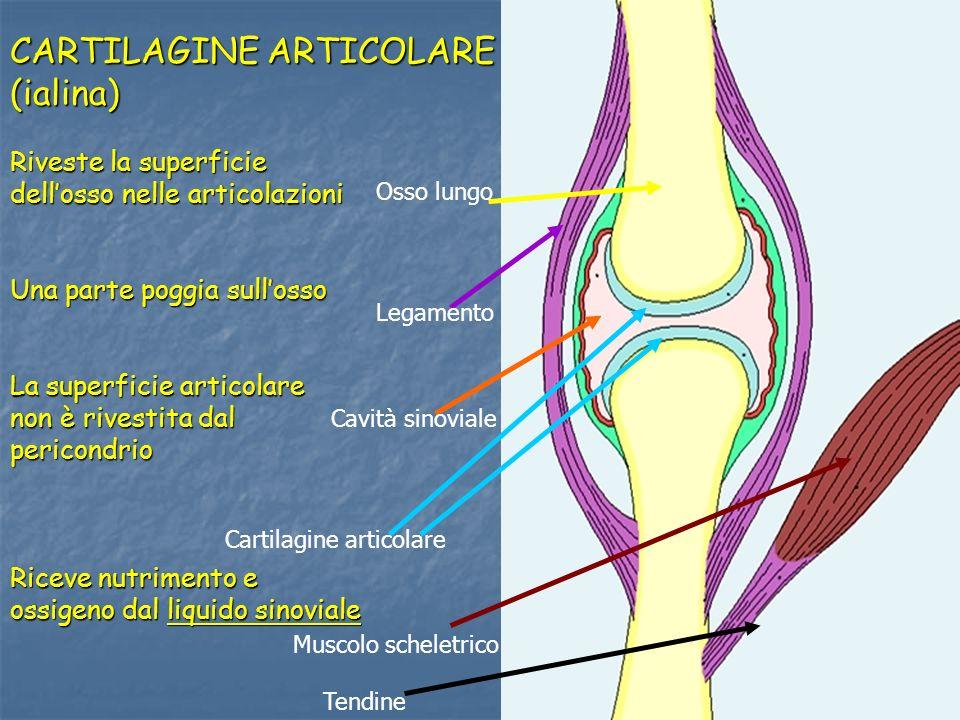 Tendine Muscolo scheletrico Cartilagine articolare Cavità sinoviale Osso lungo Legamento CARTILAGINE ARTICOLARE (ialina) Riveste la superficie delloss