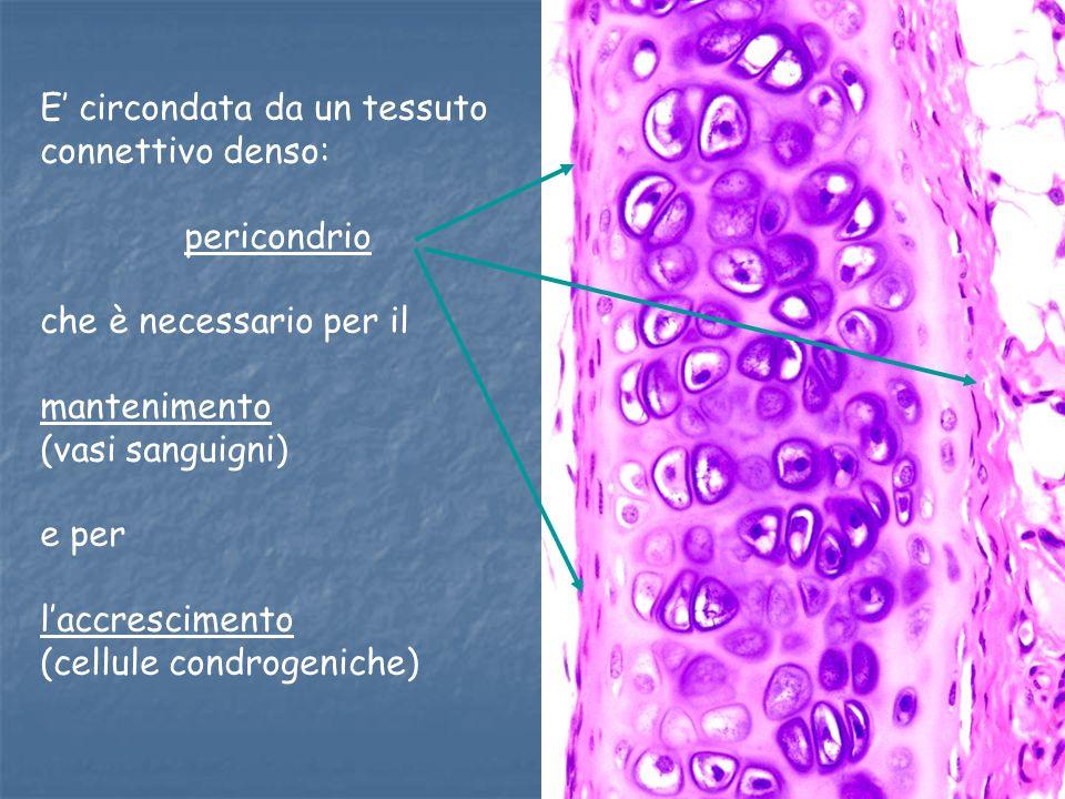 E circondata da un tessuto connettivo denso: pericondrio che è necessario per il mantenimento (vasi sanguigni) e per laccrescimento (cellule condrogen