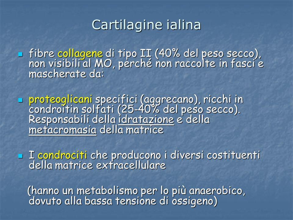 Cartilagine ialina fibre collagene di tipo II (40% del peso secco), non visibili al MO, perché non raccolte in fasci e mascherate da: fibre collagene