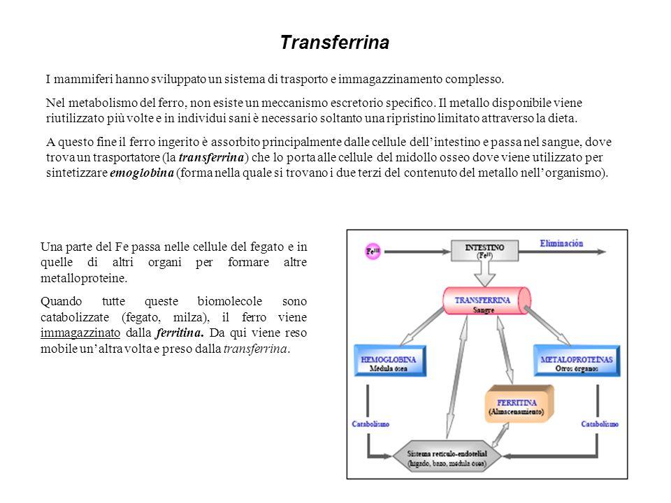 Transferrina I mammiferi hanno sviluppato un sistema di trasporto e immagazzinamento complesso. Nel metabolismo del ferro, non esiste un meccanismo es