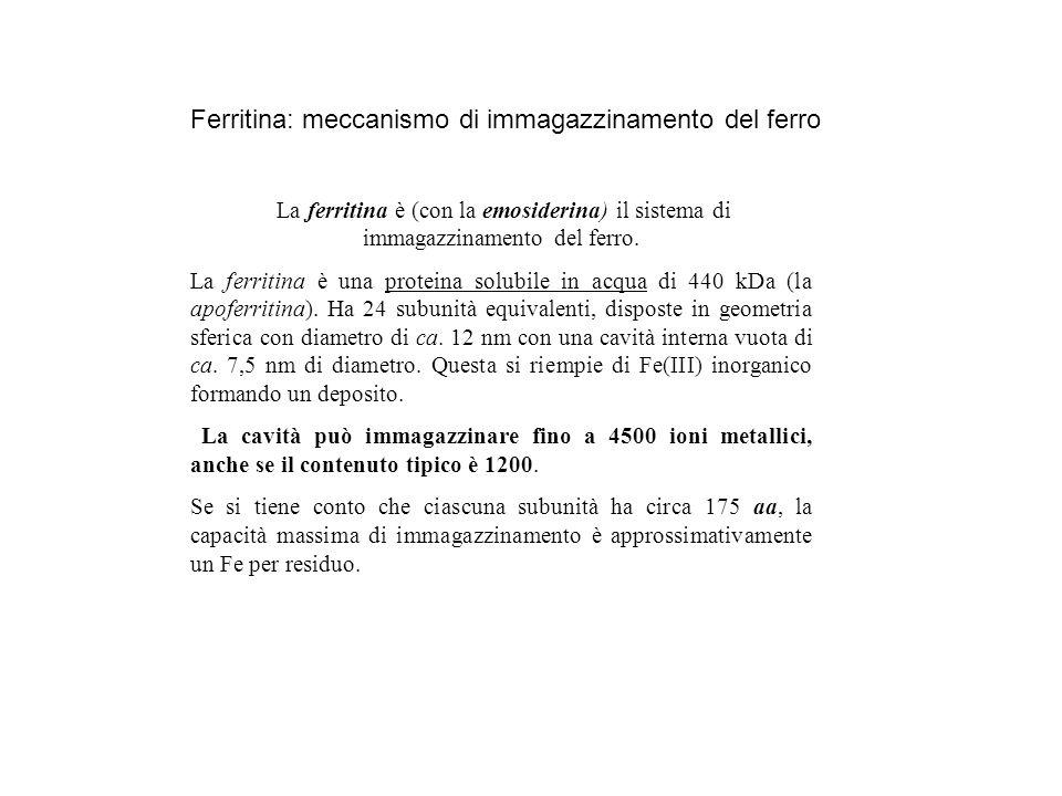 Ferritina: meccanismo di immagazzinamento del ferro La ferritina è (con la emosiderina) il sistema di immagazzinamento del ferro. La ferritina è una p