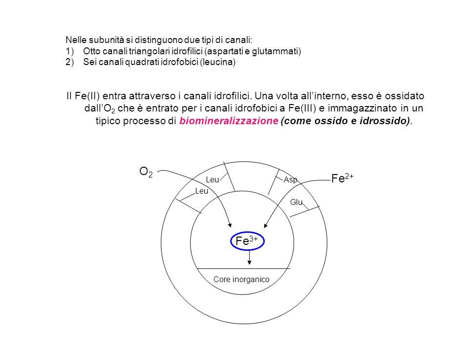 Core inorganico Asp Glu Fe 2+ Leu O2O2 Fe 3+ Nelle subunità si distinguono due tipi di canali: 1)Otto canali triangolari idrofilici (aspartati e gluta