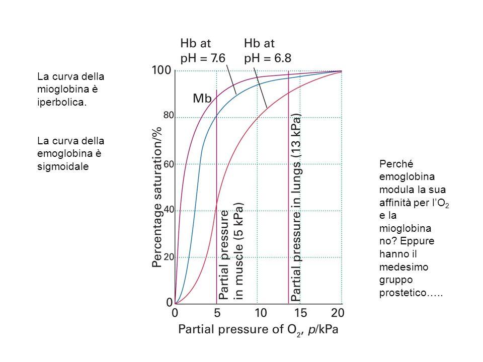 La curva della mioglobina è iperbolica. La curva della emoglobina è sigmoidale Perché emoglobina modula la sua affinità per lO 2 e la mioglobina no? E