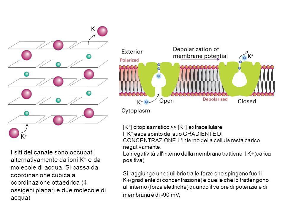 I siti del canale sono occupati alternativamente da ioni K + e da molecole di acqua. Si passa da coordinazione cubica a coordinazione ottaedrica (4 os