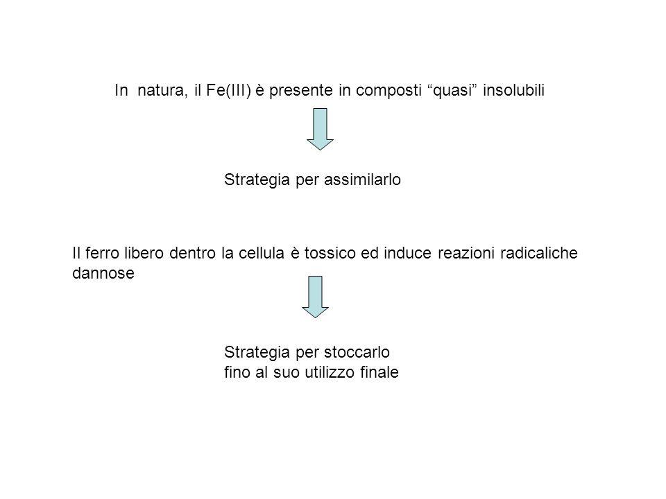 Core inorganico Asp Glu Fe 2+ Leu O2O2 Fe 3+ Nelle subunità si distinguono due tipi di canali: 1)Otto canali triangolari idrofilici (aspartati e glutammati) 2)Sei canali quadrati idrofobici (leucina) Il Fe(II) entra attraverso i canali idrofilici.