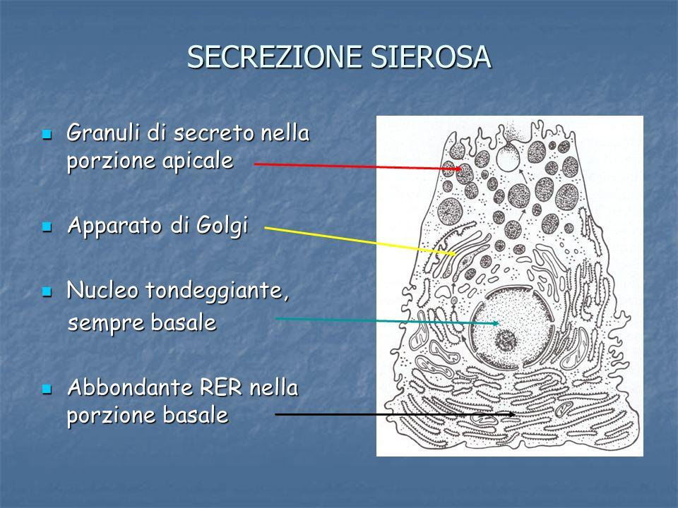 SECREZIONE SIEROSA Granuli di secreto nella porzione apicale Granuli di secreto nella porzione apicale Apparato di Golgi Apparato di Golgi Nucleo tond