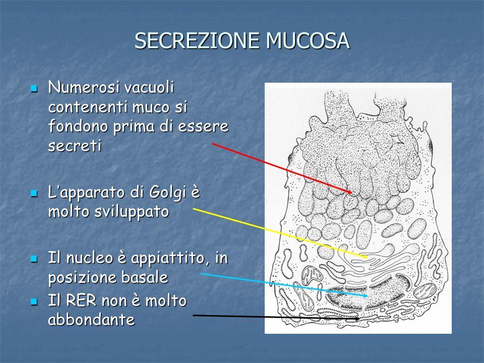 SECREZIONE MUCOSA Numerosi vacuoli contenenti muco si fondono prima di essere secreti Numerosi vacuoli contenenti muco si fondono prima di essere secr