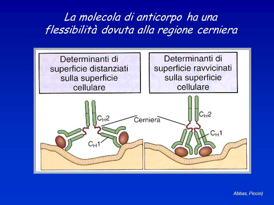 Abbas, Piccin) La molecola di anticorpo ha una flessibilità dovuta alla regione cerniera